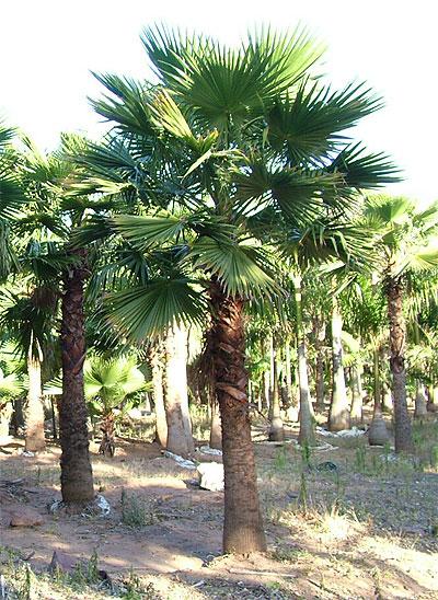 specimen palms. Black Bedroom Furniture Sets. Home Design Ideas
